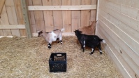At least three goats are still pregnant. It is uncertain how many more baby goats are to be expected.